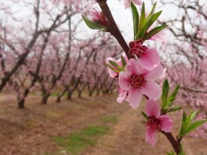 5th India International Cherry Blossom Festival cancelled_50.1