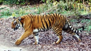 Tamil Nadu set to create state's 5th tiger reserve_50.1