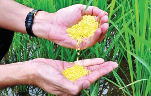 Philippines becomes first country to approve Golden Rice for planting_50.1