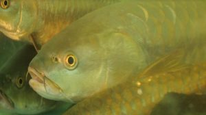 'Katley' declared as state fish of Sikkim_50.1